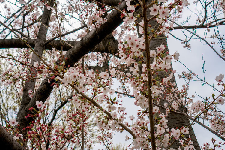 Beauty In Nature Blossom Branch Cherry Blossom Cherry Tree Day Flower Flowering Plant Fragility Freshness Fruit Tree Growth Low Angle View Nature No People Outdoors Pink Color Plant Spring Springtime Tree Vulnerability