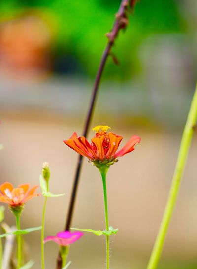 Plant Flower Flowering Plant Beauty In Nature Close-up Fragility Vulnerability  Petal Flower Head Focus On Foreground