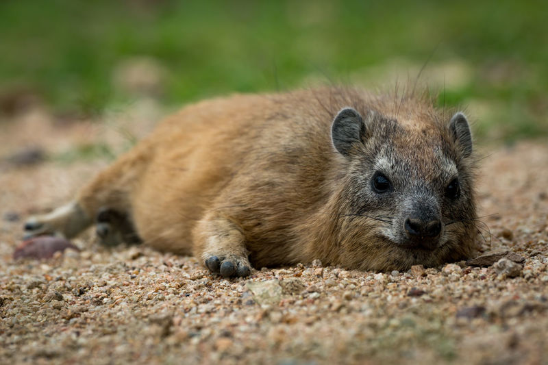 Cape Hyrax Nature Tanzania Travel Africa Animal Animal Themes Animal Wildlife Animals Hunting Animals In The Wild Close-up Day Hyrax Land Lying Down Mammal Nature No People One Animal Outdoors Portrait Relaxation Rock Hyrax Safari Selective Focus Survival Vertebrate Wildlife