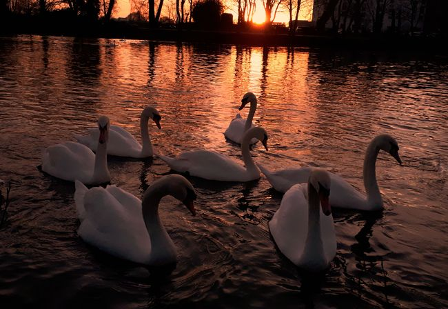 '7 Swans A Swimming ...on the River Severn!' https://youtu.be/Xd2nTXsivHs 12 Days Of Christmas 7 Swans A Swimming Exceptional Photographs EyeEm Best Shots Eye4photography  EyeEmBestPics Golden Water Reflections River River Severn Swans ❤ Swans Sunset_collection Sunset Silhouettes Ripples In The Water Gold Colored On Golden Pond Winter Wintertime Landscape_photography Landscape_Collection Reflection Water Animals In The Wild Animal Wildlife No People Swimming Animal Themes Swan