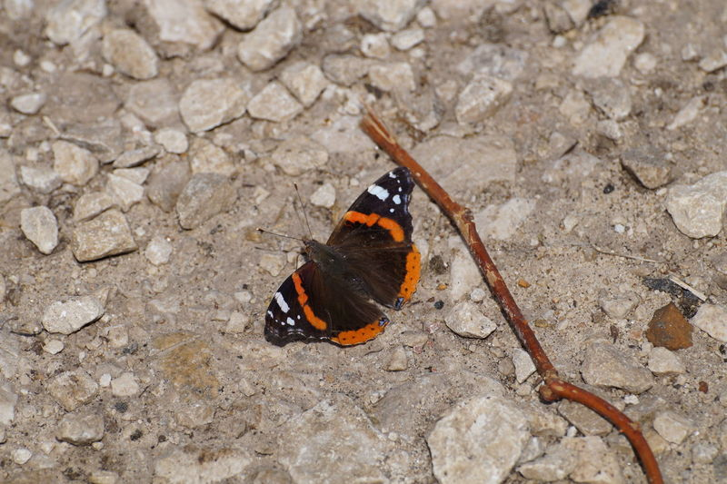 Red Admiral Butterfly EyeEm Selects Butterfly - Insect Insect High Angle View Close-up Animal Themes Butterfly