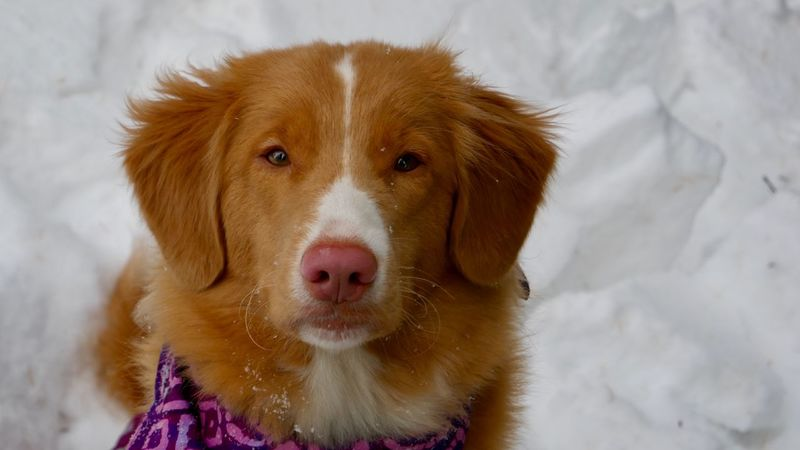 Talus the Toller. Hiking Dog Toller Retriever Toller Pets Domestic Domestic Animals One Animal Dog Canine Mammal Animal Themes Brown Cold Temperature Winter Close-up Animal Head  Snow Looking At Camera No People Portrait