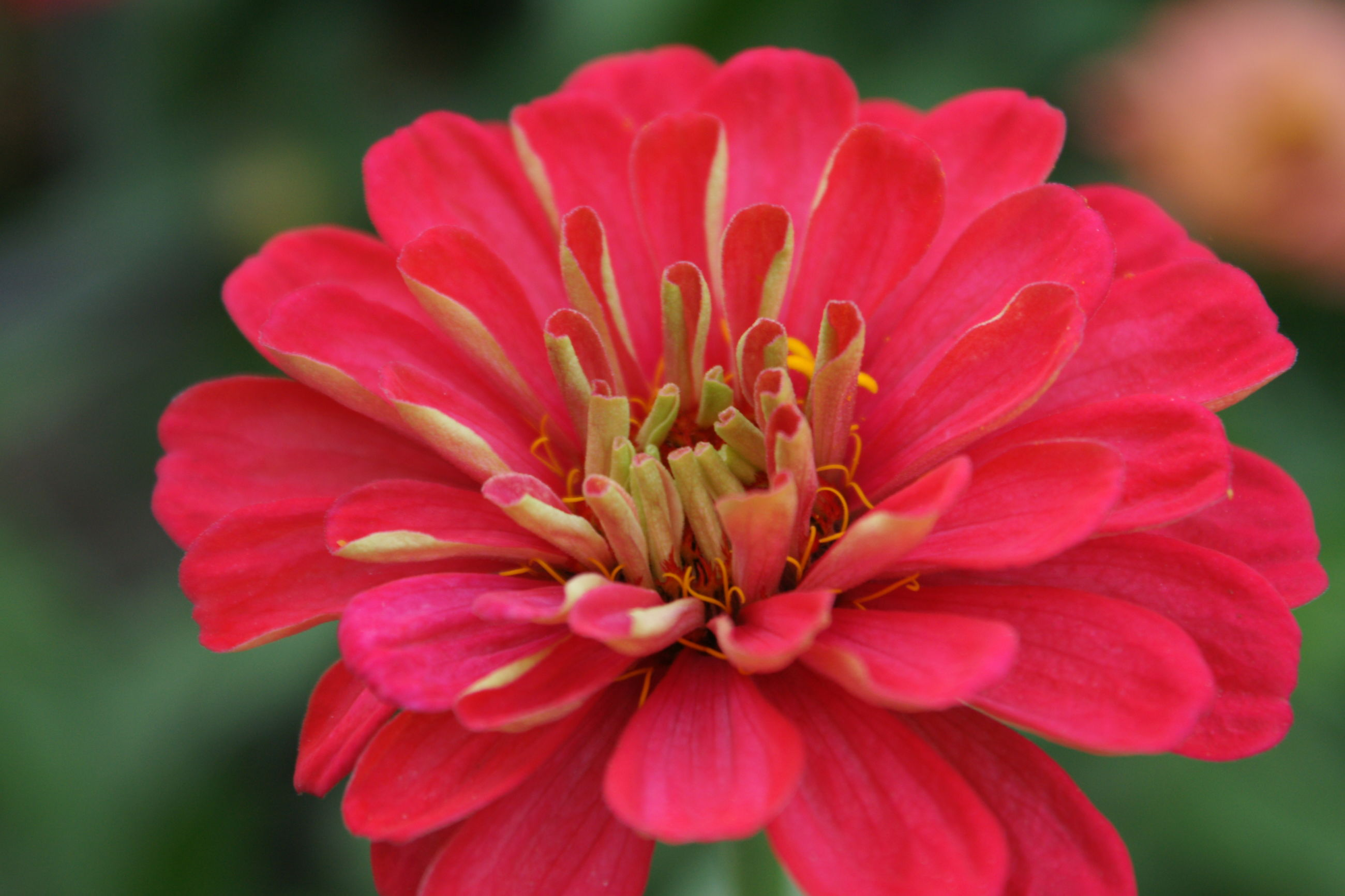 flower, petal, nature, beauty in nature, fragility, freshness, flower head, growth, close-up, focus on foreground, pink color, pollen, blooming, outdoors, zinnia, day, no people