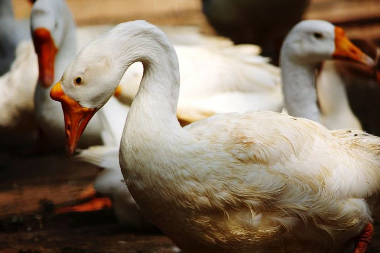 Head down Birdsanctuary Ducks Nature Beauty In Nature Sadbird Cagedbirds Caged Freedom Nature_collection White Sadanimals Beauty Redefined Showcase: February