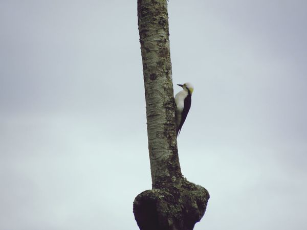 EyeEm Selects One Animal Animals In The Wild Animal Themes Bird Wood Pecker A Kind Of Wood Packers Outdoors Nature