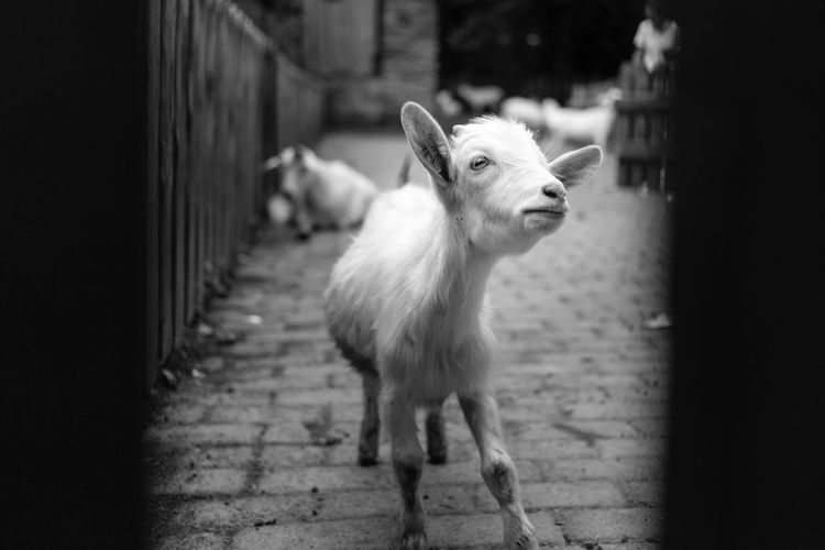 Close-up of kid goat standing on footpath