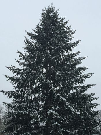Snowy Tree Beauty In Nature Nature Tree Growth Winter Outdoors Snow Coniferous Tree Sky Scenics Natural Condition Shapes In Nature  View Naturally Formed Perspective Landscape Patterns In Nature Backgrounds Winter Weather