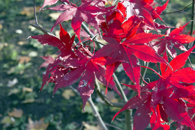 Plant Part Leaf Red Beauty In Nature Plant Autumn Close-up Maple Leaf Nature Focus On Foreground Maple Tree Day No People Outdoors Natural Condition Fall Leaves Red Park Wood Contrast Branch Tree