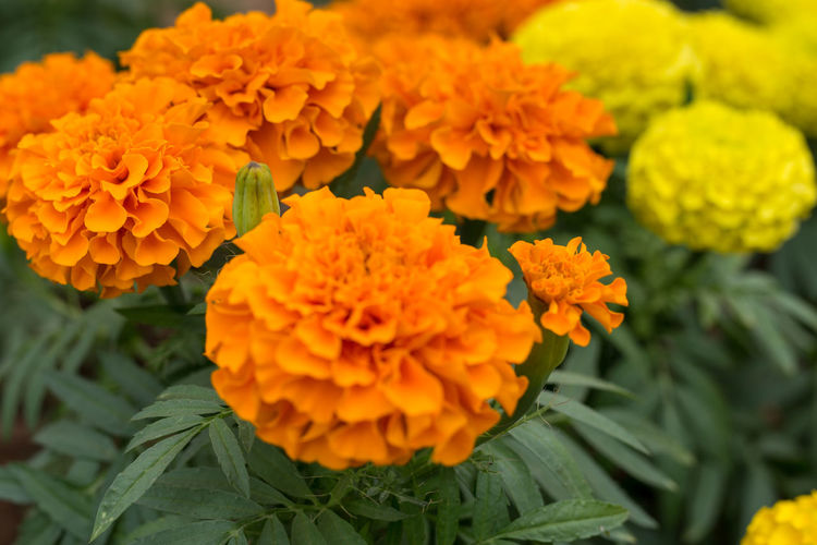Close-up of marigold flowers blooming outdoors