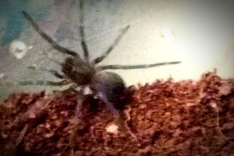 My Lasiodora parahybana sling, Cambria. Lasiodora Parahybana Sling Spider Spiderling Tarantula Salmon Bird Eater Salmon Pink Lasiodora