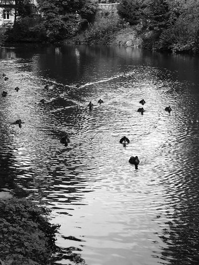 🦆 - Animals In The Wild Animal Themes Water Swimming Bird Lake Reflection Nature Water Bird Animal Wildlife Duck Waterfront Wildlife Canada Goose Outdoors Large Group Of Animals Beauty In Nature Swimming Animal Goose Swan Germany Düsseldorf Nature