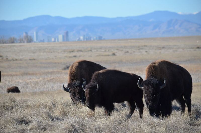 Denver Rocky Mountain Arsenal National Wildlife Refuge American Bison Animal Themes Animal Wildlife Animals In The Wild Beauty In Nature Bull Day Field Grass Grazing Landscape Mammal Mountain Nature No People Outdoors Rocky Mountains