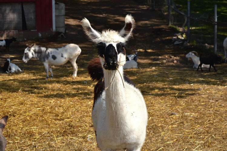 Llama Goats Animal Themes Bird Day Domestic Animals Donkey Field Grass Livestock Llamas Mammal Nature No People Outdoors Petting Zoo Sheep Togetherness White Color Young Animal