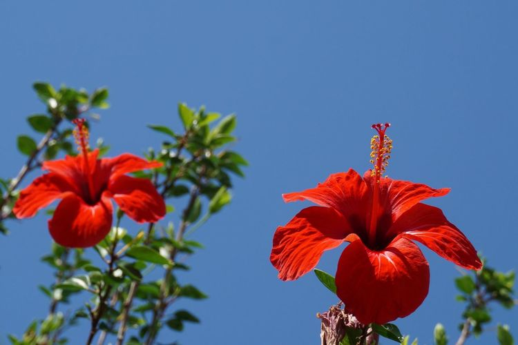 Low angle view of red hibiscus blooming against sky
