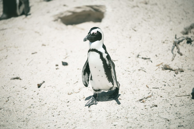Close-up of penguin on sand