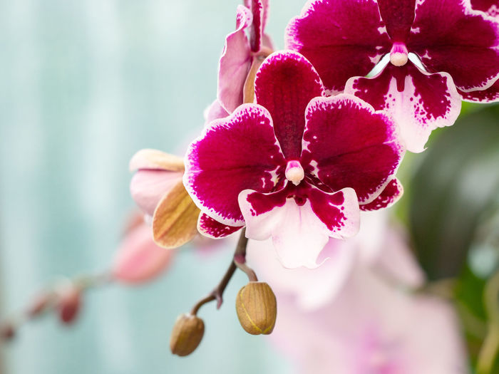 Phalaenopsis hybrid Flowering Plant Flower Plant Fragility Beauty In Nature Vulnerability  Freshness Close-up Pink Color Nature Flower Head Orchid Phalaenopsis Moth Orchid Red Purple Botanical Garden In Bloom Botany Blooming