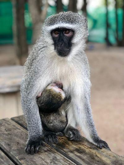 Portrait of monkey sitting on wood at zoo