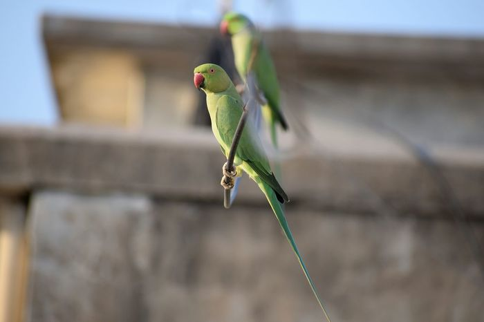 Two lovers Animal Wildlife One Animal Animals In The Wild Focus On Foreground Animal Themes Close-up Green Color Nature No People Outdoors Bird Sky Beauty In Nature Landscape Parrot Life Parrot❤ Parrot Lovers