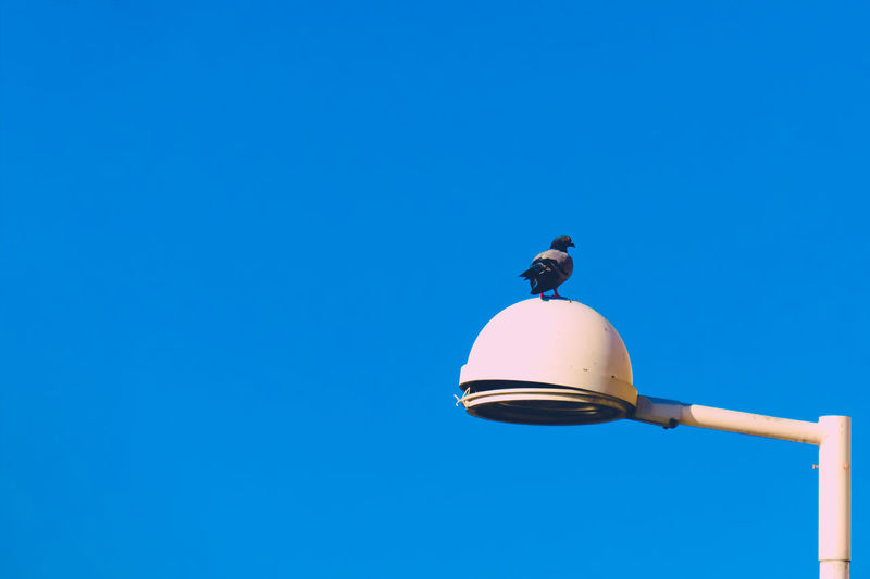 Low angle view of pigeon perching on street light against clear blue sky