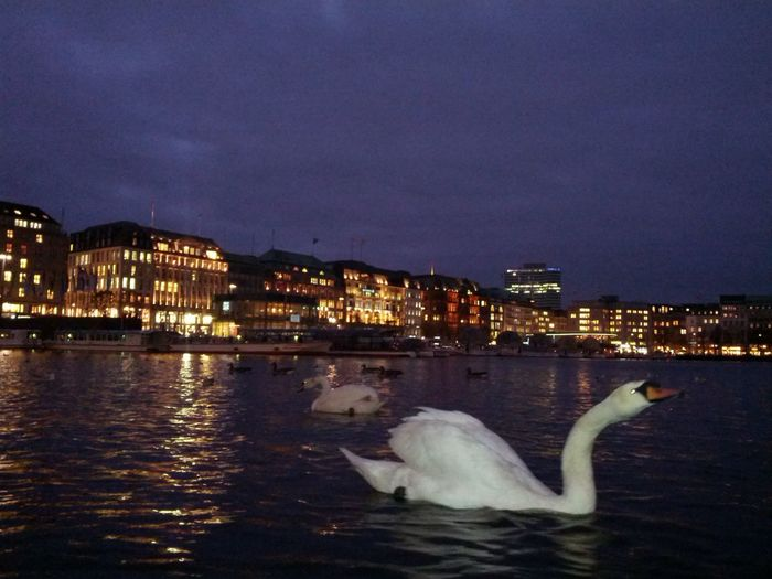 Swans on Binnenalster in Hamburg, Germany At Night The Purist (no Edit, No Filter) Schwanensee Hamburg