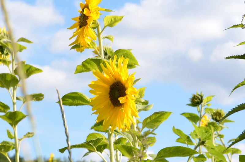 Autumn Autumn Colors Herbst Sunflower Beauty In Nature Blooming Flower Flower Head Freshness Nature Outdoors Sky Sonnenblume Sunflowers Yellow