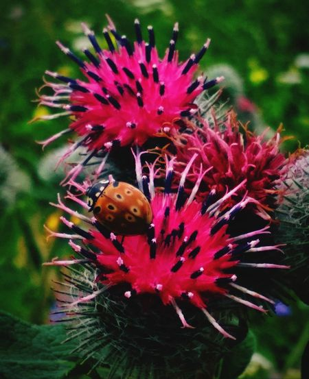 Flower Head Flower Thistle Pollination Insect Eastern Purple Coneflower Purple Close-up Plant