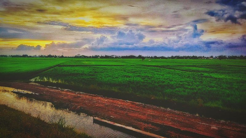 Rice Field Dramatic Sky Agriculture At Alor Setar Malaysia