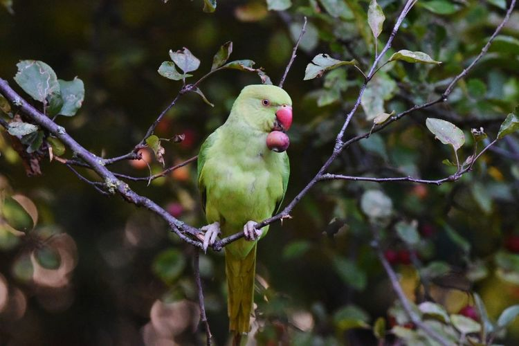parakeet Bird Animal Parrot Animal Wildlife Nature No People Outdoors Pets Perching Beauty In Nature Branch Tree Day Summer One Animal Animals In The Wild Pink Color Green Color LONDON❤ Cockatoo Mammal Close-up