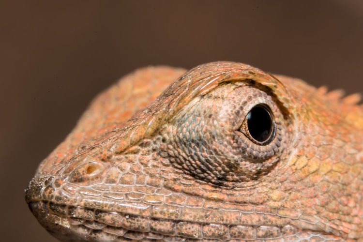 Take a closer look at the chameleon Animal Head  Animal Scale Animal Themes Animal Wildlife Animals In The Wild Bearded Dragon Black Background Chameleon Close-up Day Iguana Lizard Nature No People One Animal Outdoors Reptile