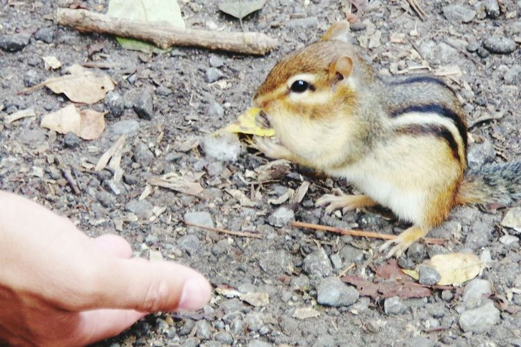 Gentle Chipmunk and the human Wildlife Photography Wildlife Wildlife Photography Whitby Ontario Human Hand Close-up Rodent Chipmunk