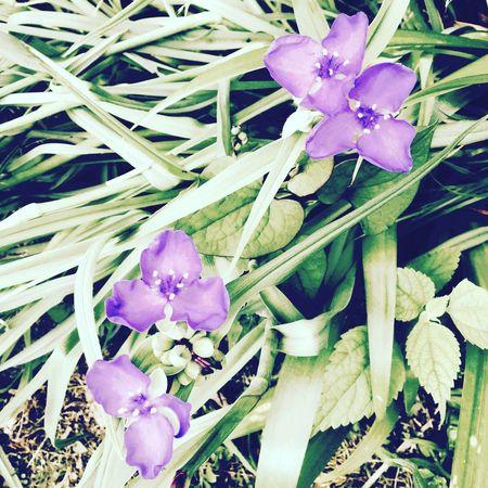 ムラサキツユクサ 自然 庭 田舎暮らし 里山 Spiderwort IPhone Nature Garden IPhoneography Japan Countryside