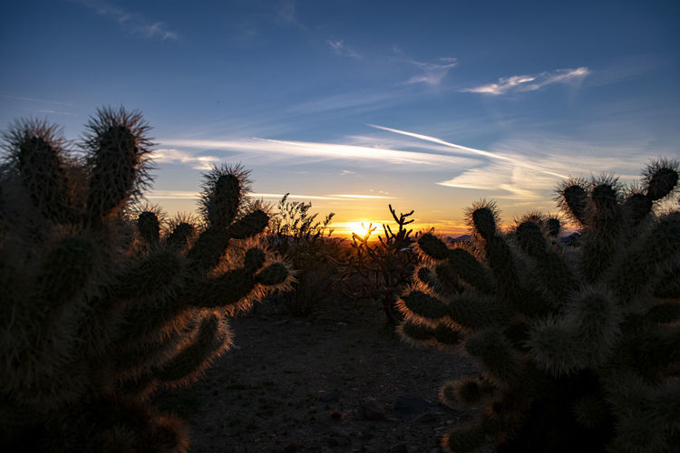 Cactus On Field Against Sky At Sunset