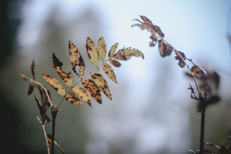 Close-up of dry leaves on branch against blurred background