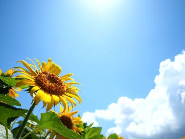 今年も世田谷の住宅街にあるひまわり畑に行って来たよ。今年はにこちゃんひまわりは無しみたいです。焦点距離は12mmです。 Olympus OM-D E-M5 Mk.II Tokyo Street Photography Summertime Flowering Plant Flower Plant Sky Beauty In Nature Fragility Freshness Flower Head Yellow Low Angle View Sunflower Cloud - Sky Blue