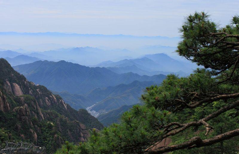 黄山 Tree