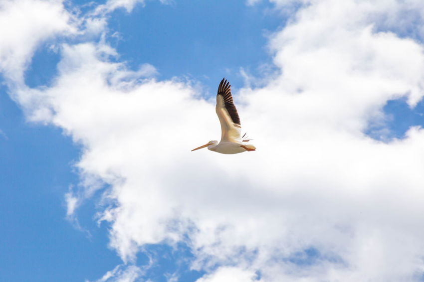 Large sea bird flapping wings while flying in cloudy blue sky. Ennis, Montana, USA. Montana Animal Animal Themes Animal Wildlife Animals In The Wild Beauty In Nature Bird Cloud - Sky Day Ennis Flying Mid-air Motion Nature No People Outdoors Pelican Pelican Birds Pelican In Flight Pelicans Seagull Sky Spread Wings Vertebrate White Color