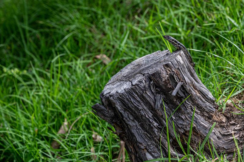 Lizard on a tree stump, kennett river, great ocean road, australia