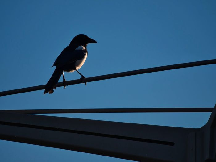 Animal Animal Themes Animal Wildlife Animals In The Wild Bird Blue Cable Clear Sky Day Full Length Low Angle View Nature No People One Animal Outdoors Perching Railing Silhouette Sky Vertebrate