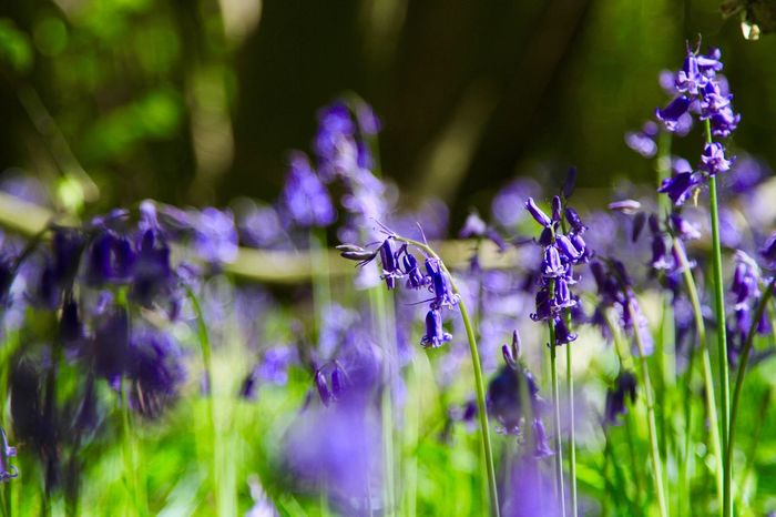 Bluebells Flower Nature Beauty In Nature Growth Outdoors No People Flower Head Chalkney Wood Blooming Close-up