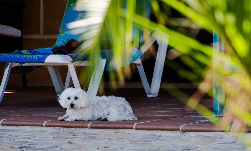 Maltese Dog Palm Leaf Sunlounger Tree Vacations Animal Themes Day Dog Domestic Animals Maltese Malteser Mammal No People One Animal Outdoors Pets Summer Sun Bathing West Highland White Terrier White Color