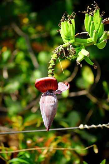 Banana Banana Flower Close-up Plant Growing Young Plant Flower Head Blooming In Bloom