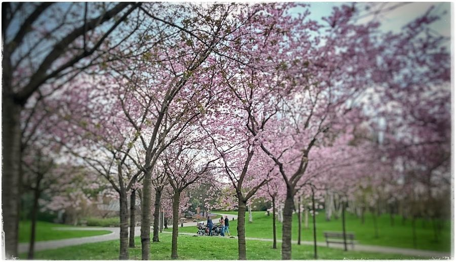 Unterwegs in den Gärten Der Welt Springtime Kirschblüten  Cherryblossom Frühlingserwachen PrettyInPink