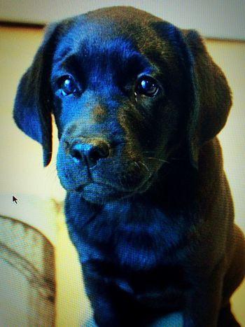 Labrador Mydog♡