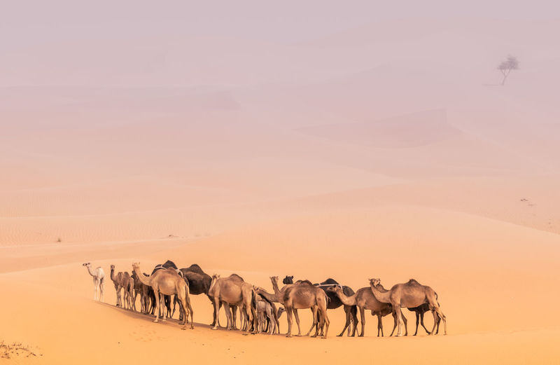 camels in the desert Sand Dune Safari Animals Desert Sand Following Group Of Animals Sunset Horizon Sky Landscape