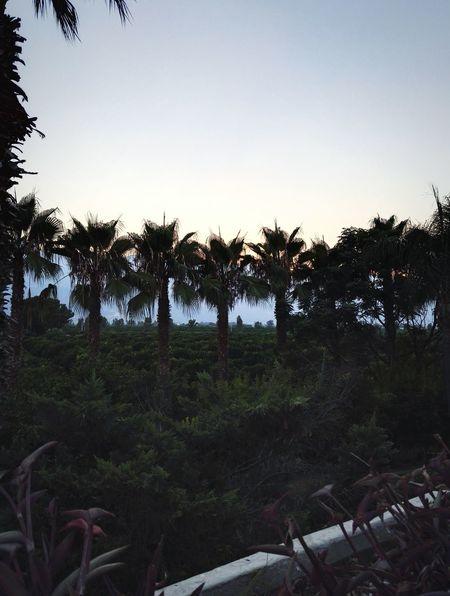 Palm Tree Forest Mandarin Tree Dinner Sunset Mountain Sky Fresh Air Nature Turkey Kemer Antalya