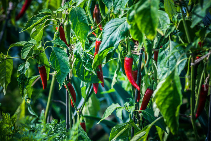 Allotment Beauty In Nature Chili Pepper Close-up Food Freshness Garden Green Color Grow Your Own Growing Growth Hot Hot And Spicy Leaf Nature No People Outdoors Plants And Flowers Red Red Chili Pepper Scotch Bonnet Vegetable