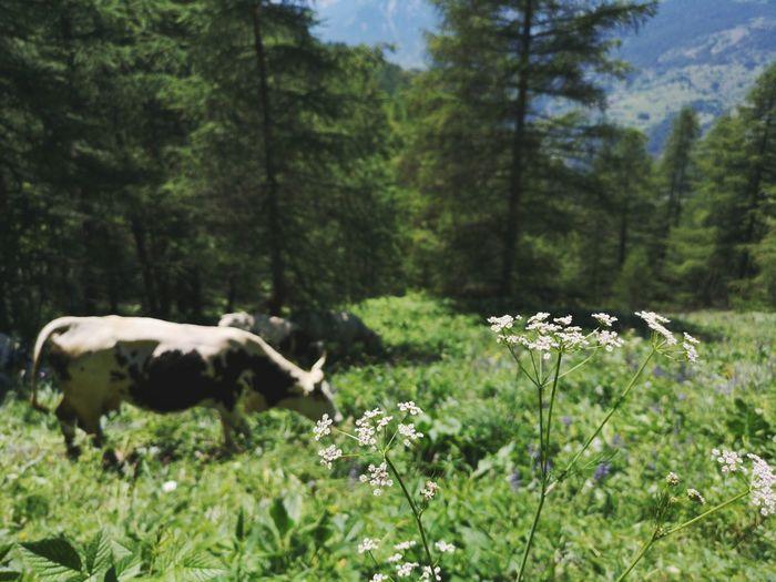 Muuuu Tree Moose Forest Wilderness Animal Themes Farm Animal Cattle Cow Dairy Farm Pasture Livestock Tag Livestock