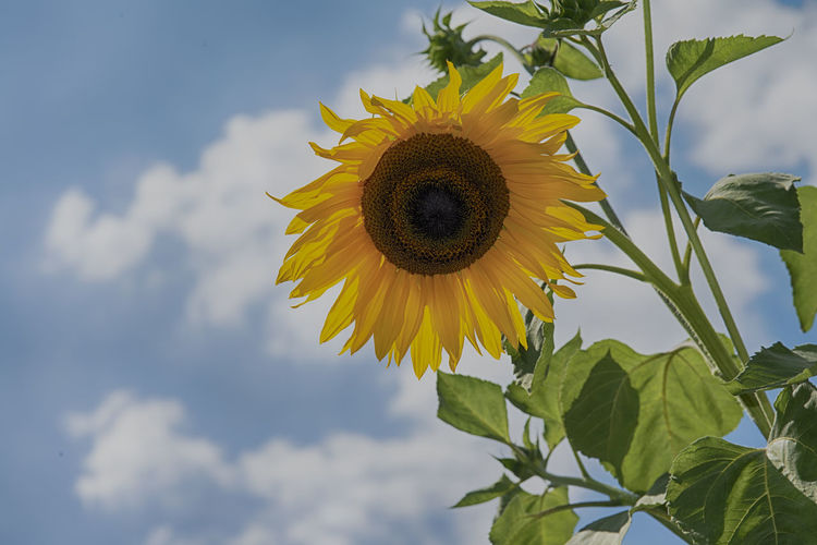 Blume Himmel Himmel Und Wolken Nature Flower Head Sky Sonnenblume Sunfower Wolfzuachiv