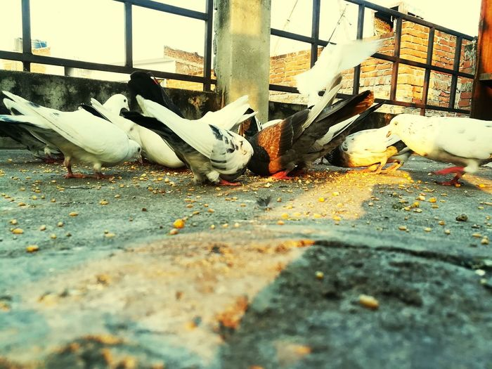 Pigeons Animal Themes Large Group Of Animals No People Mammal Bird