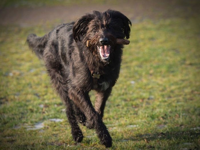 Dog running on grassland